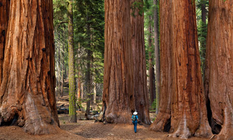 Giant Sequoia trees, California