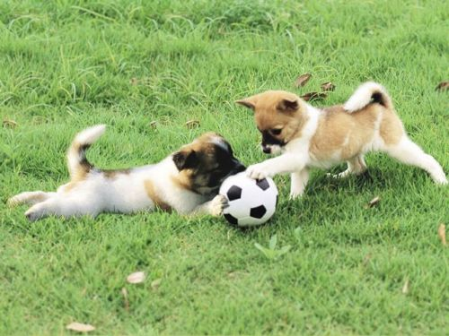 puppies-pets-playing-dog-animal-park-grass