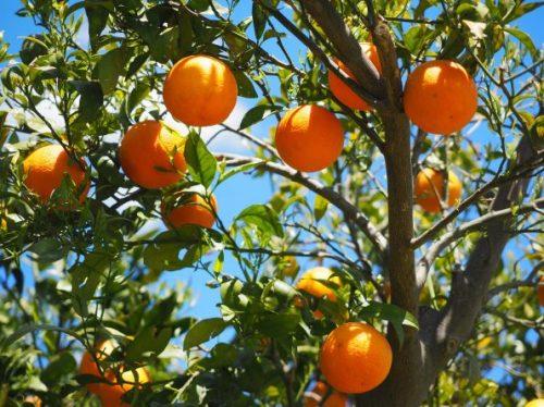 oranges-1117628_1920-595x446